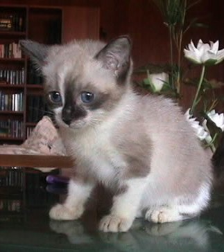 The lovely Siamese cat